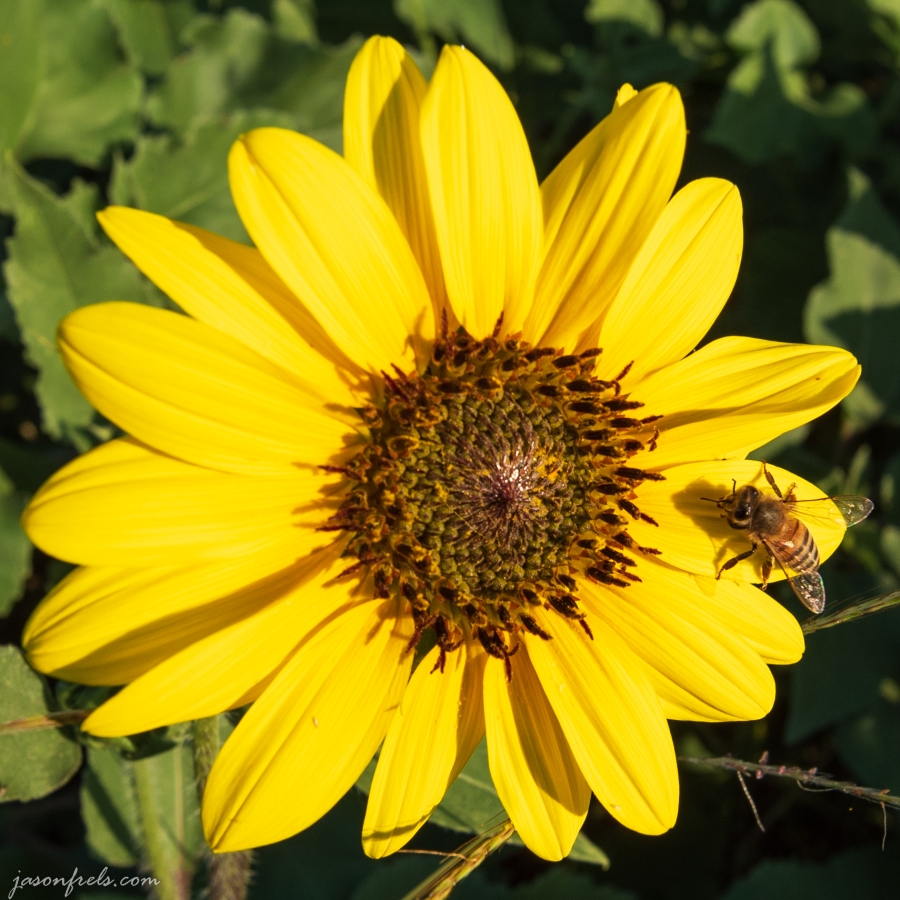 Sunflower and bee in afternoon sun near road in Leander Texas