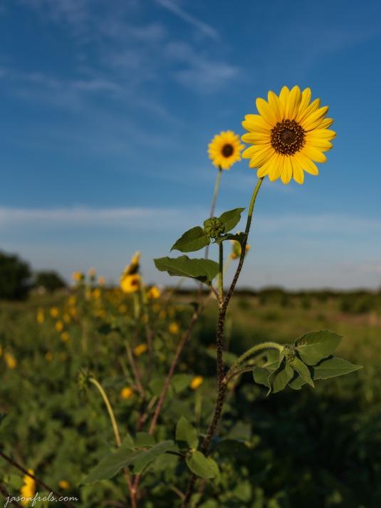 Texas_sunflowers_16-35mm_5