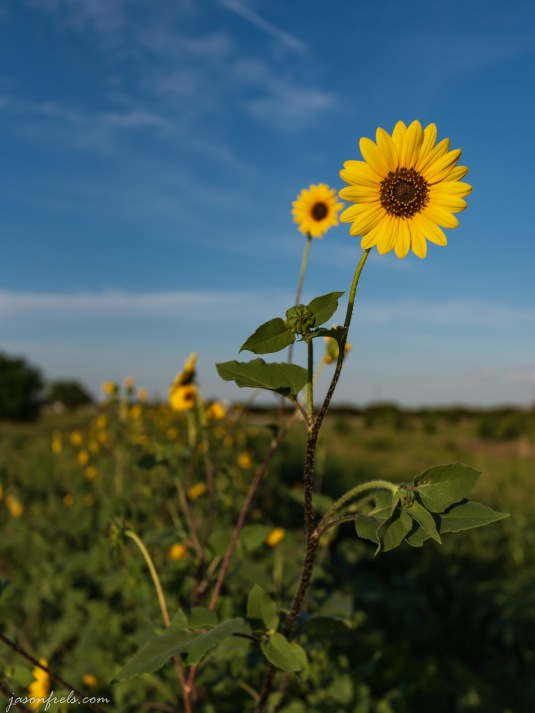 Texas_sunflowers_16-35mm_5