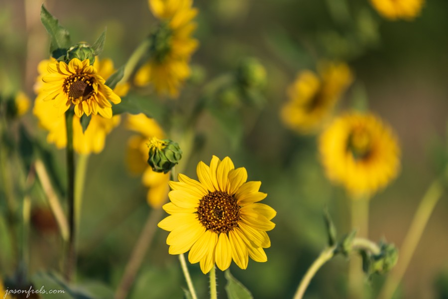 Texas_sunflowers_70-200mm_1