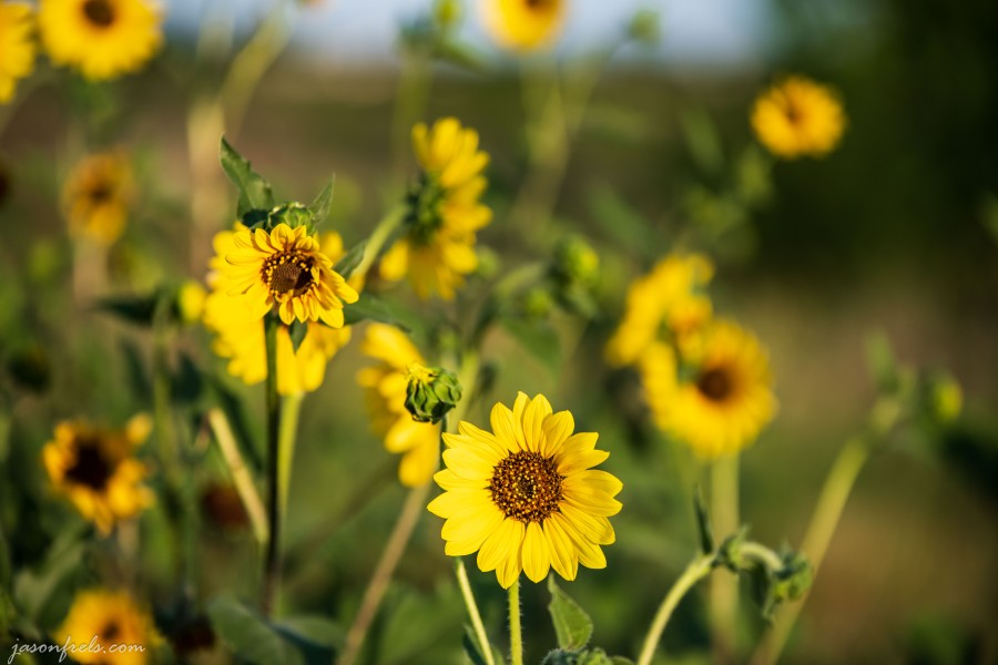 Texas_sunflowers_70-200mm_2