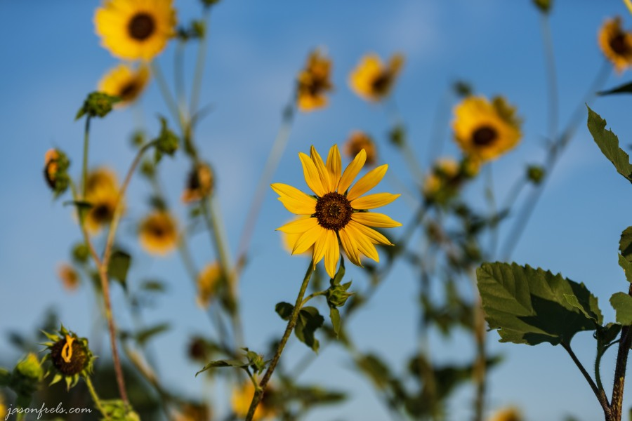 Texas_sunflowers_70-200mm_4