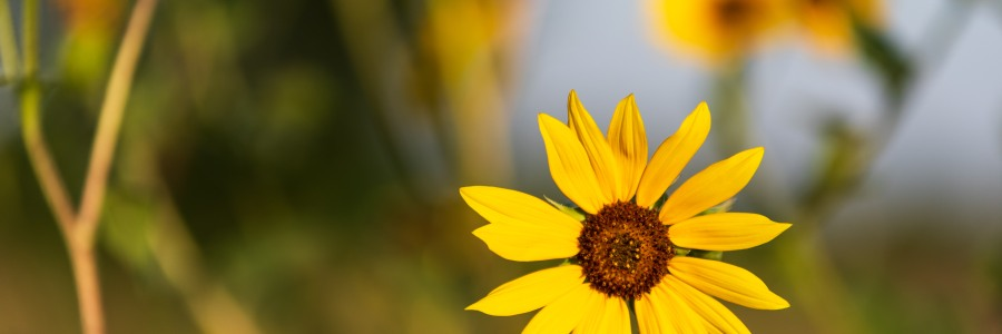 Close up of sunflowers in afternoon sun near road in Leander Texas