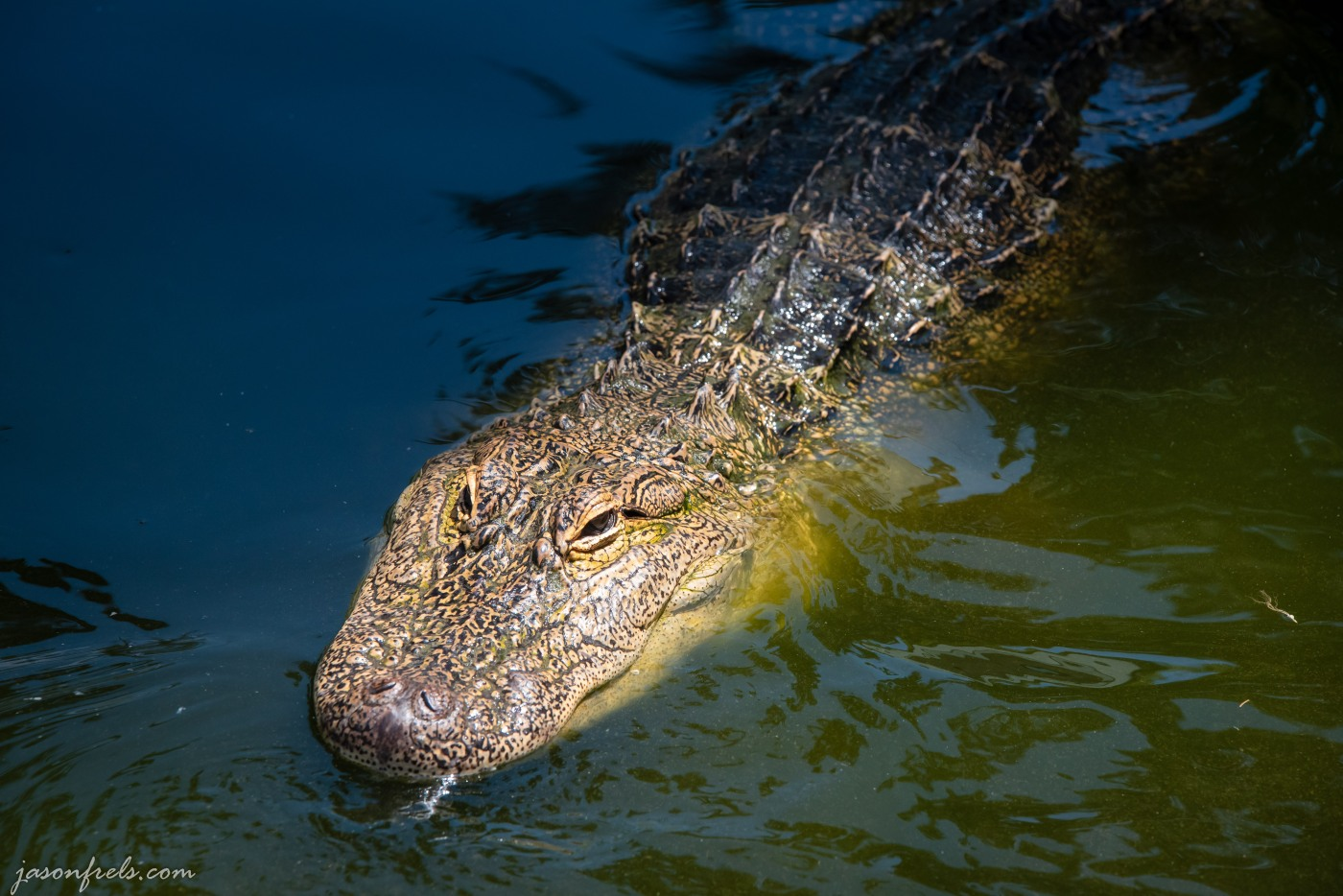 Close-up of a captive alligator in Hot Springs Arkansas