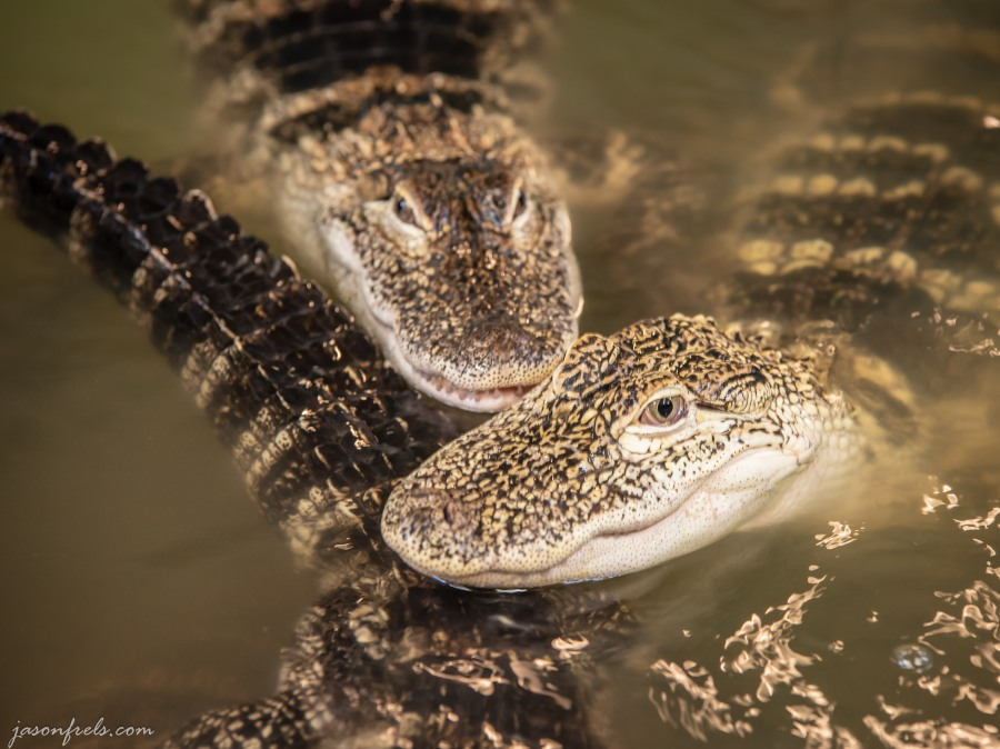 Close-up of captive baby alligators.