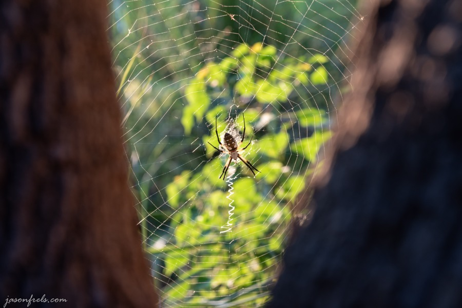 Black and yellow garden spider at Inks Lake State Park Texas