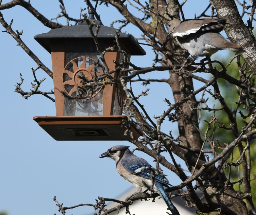 Bluejay near a bird feeder