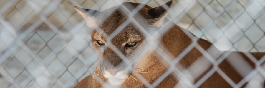 Captive cougar in a zoo in Hot Springs Arkansas