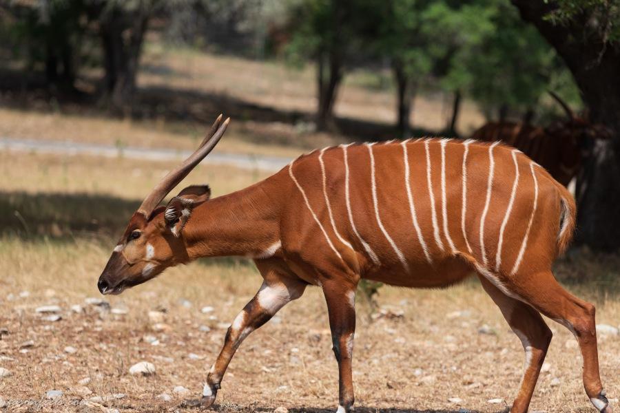 Bongo antelope at wildlife ranch in Texas