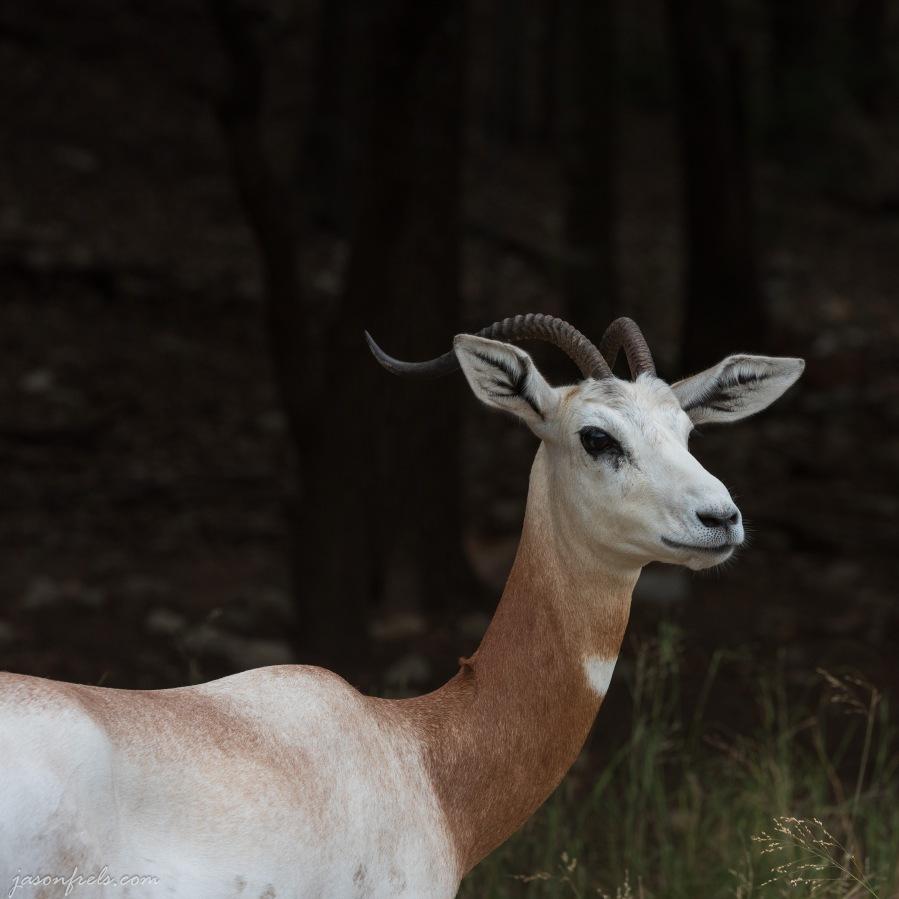 Dama Gazell at wildlife ranch in Texas