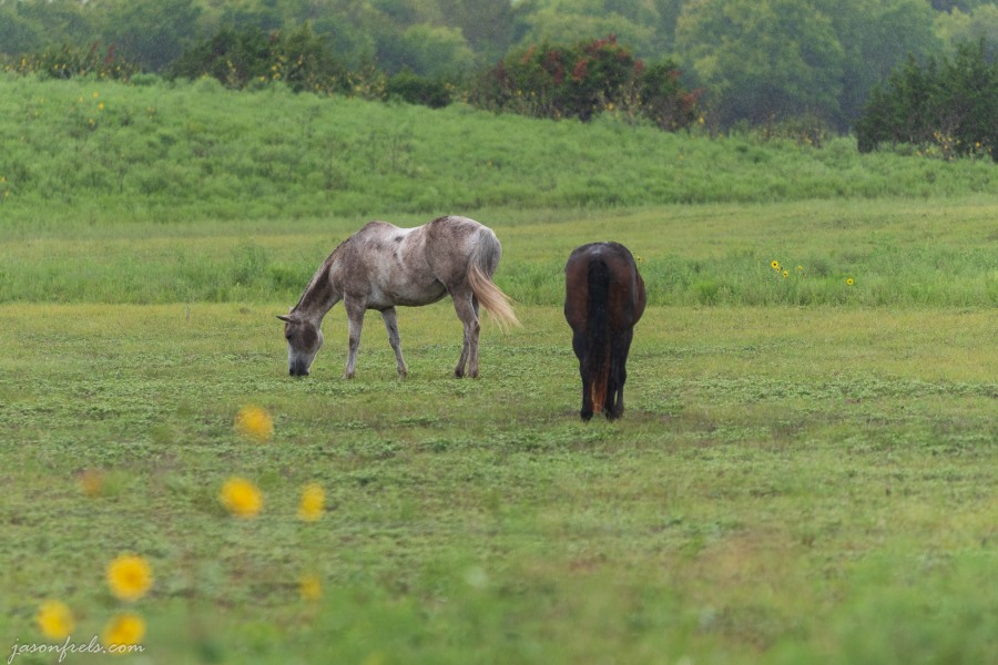 Horses in the rain in Leander Texas