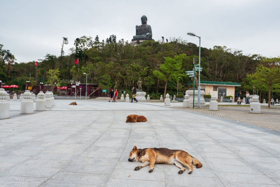 Dogs near the Big Buddha