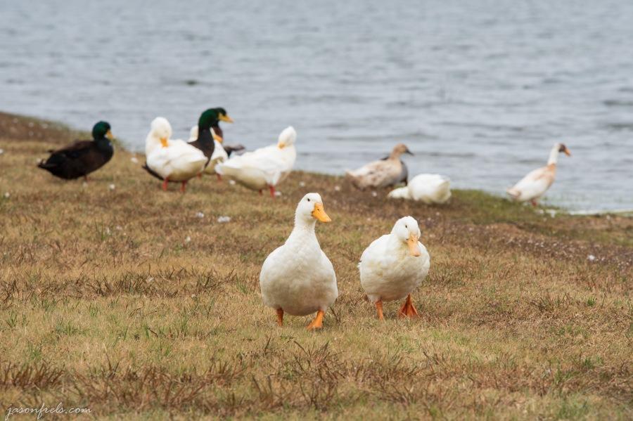Devine-Lake-Leander-Ducks-1