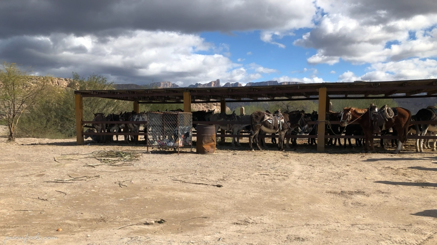 Mules at Boquillas border crossing
