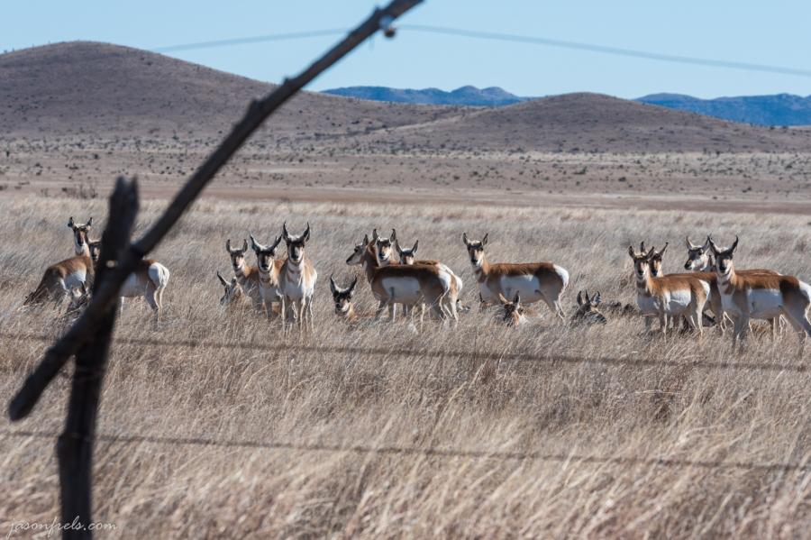 Deer in West Texas