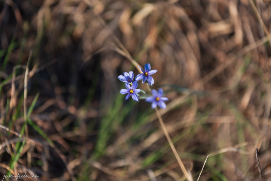 Blue wildflowers at Balcones Canyonlands National Wildlife Refuge Texas