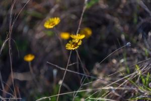 Yellow wildflowers at Balcones Canyonlands National Wildlife Refuge Texas