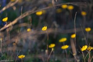 Yellow wildflowers at Balcones Canyonlands National Wildlife Refuge