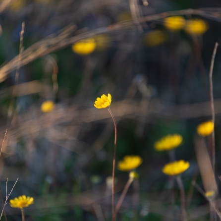 Yellow wildflowers at Balcones Canyonlands National Wildlife Refuge