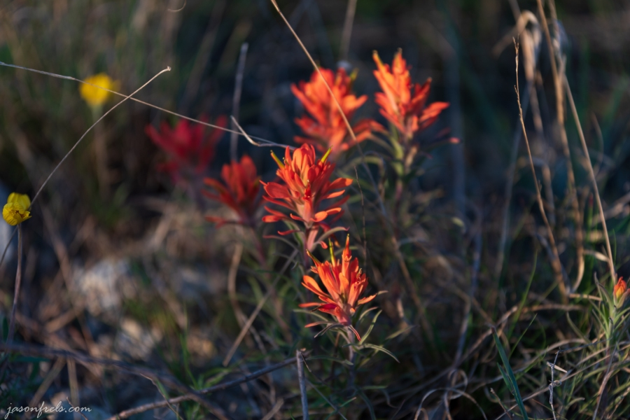 Indian Paintbrush wildflowers at Balcones Canyonlands National Wildlife Refuge
