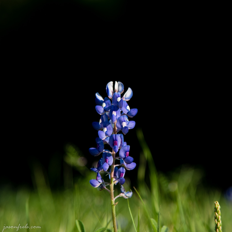 Lone Texas bluebonnet on a spring morning.