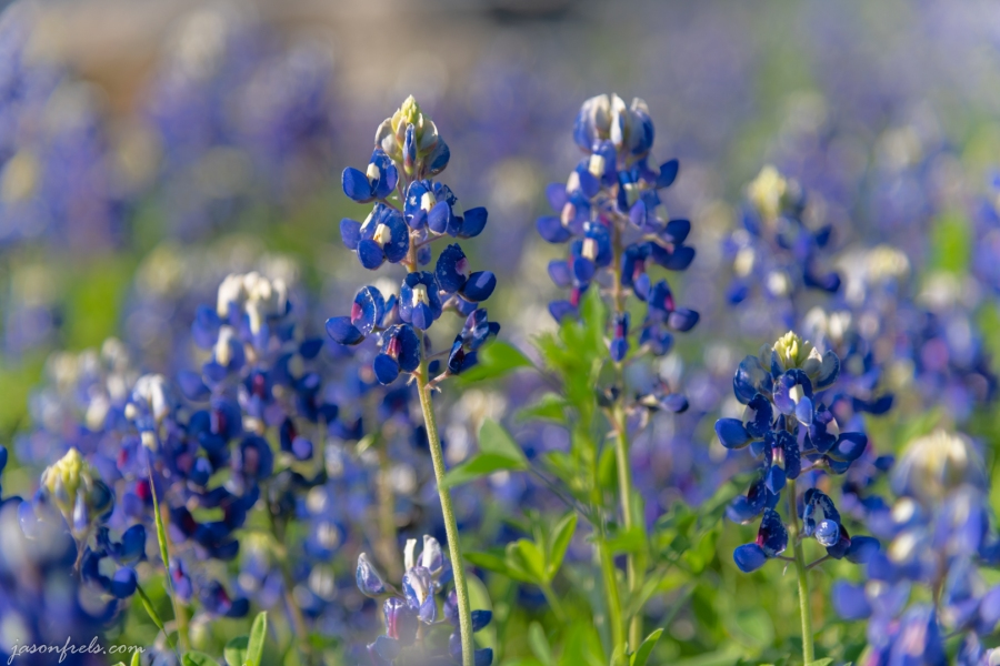 Close-up of Bluebonnets in Austin Texas