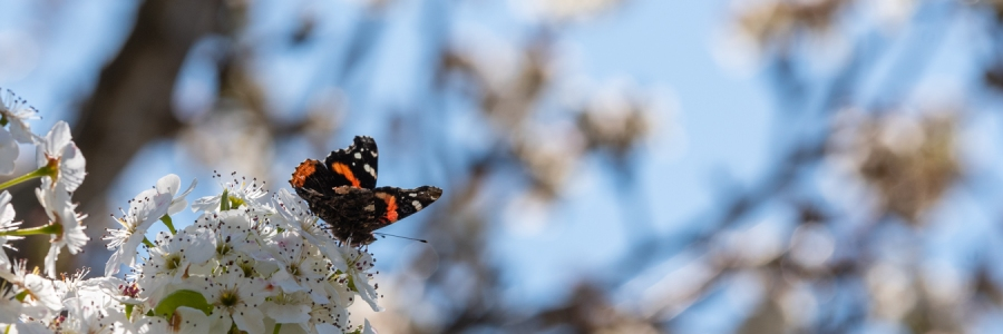 Butterfly in tree blossoms