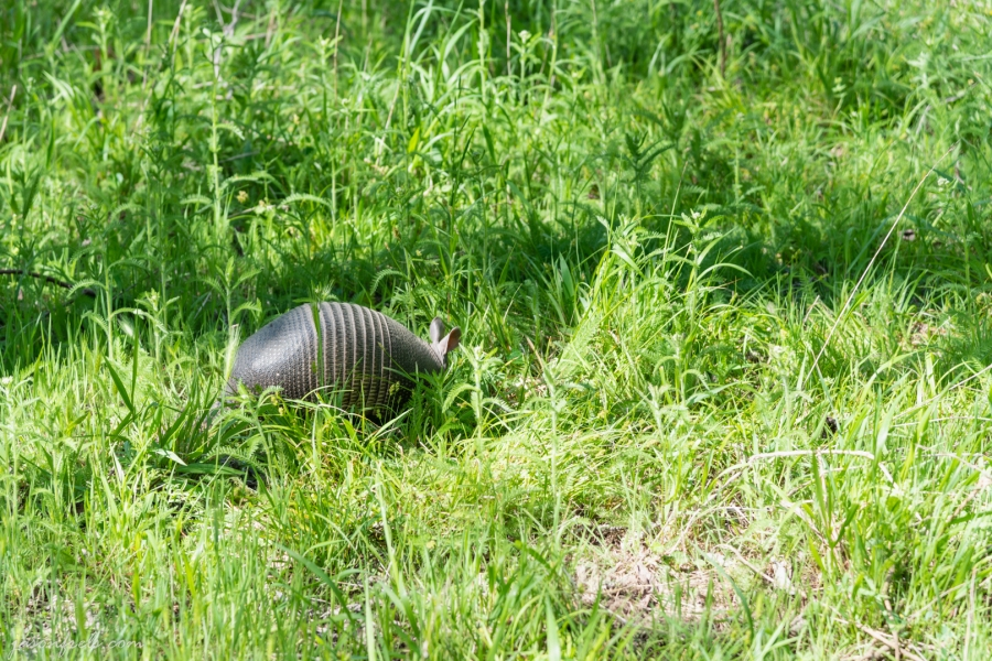 Armadillo at Colorado Bend State Park Texas