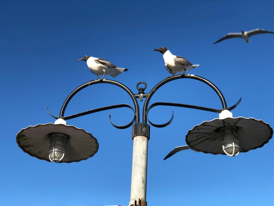 Sea_Gulls_at_Kemah