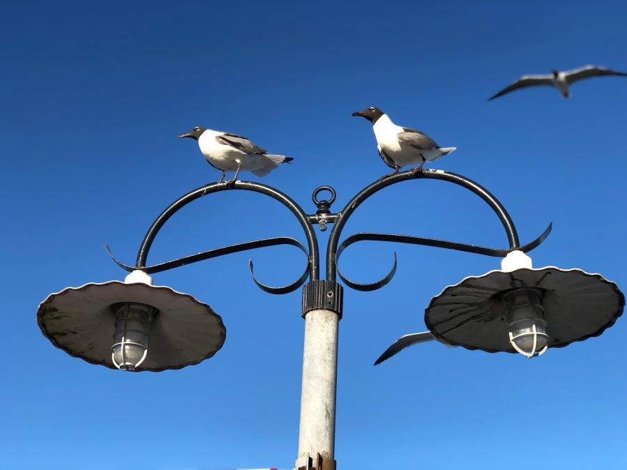 Sea_Gulls_at_Kemah