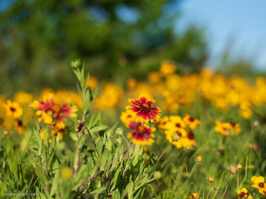 Wildflower-Close-up-1