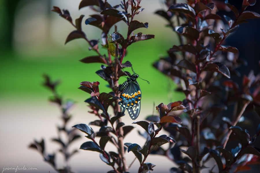 Newly Emerged Butterfly in Crepe Myrtle