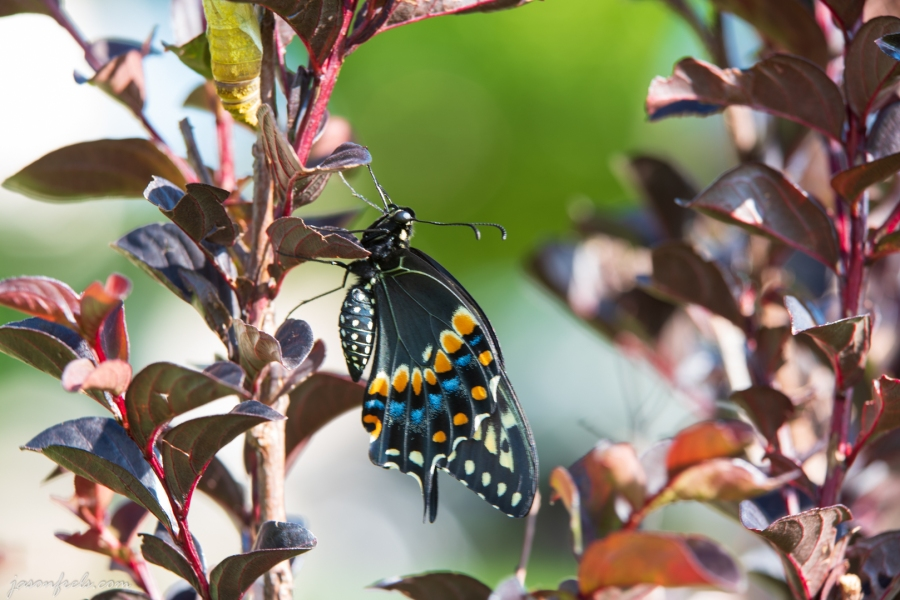 Close up of Butterfly in Crepe Myrtle.