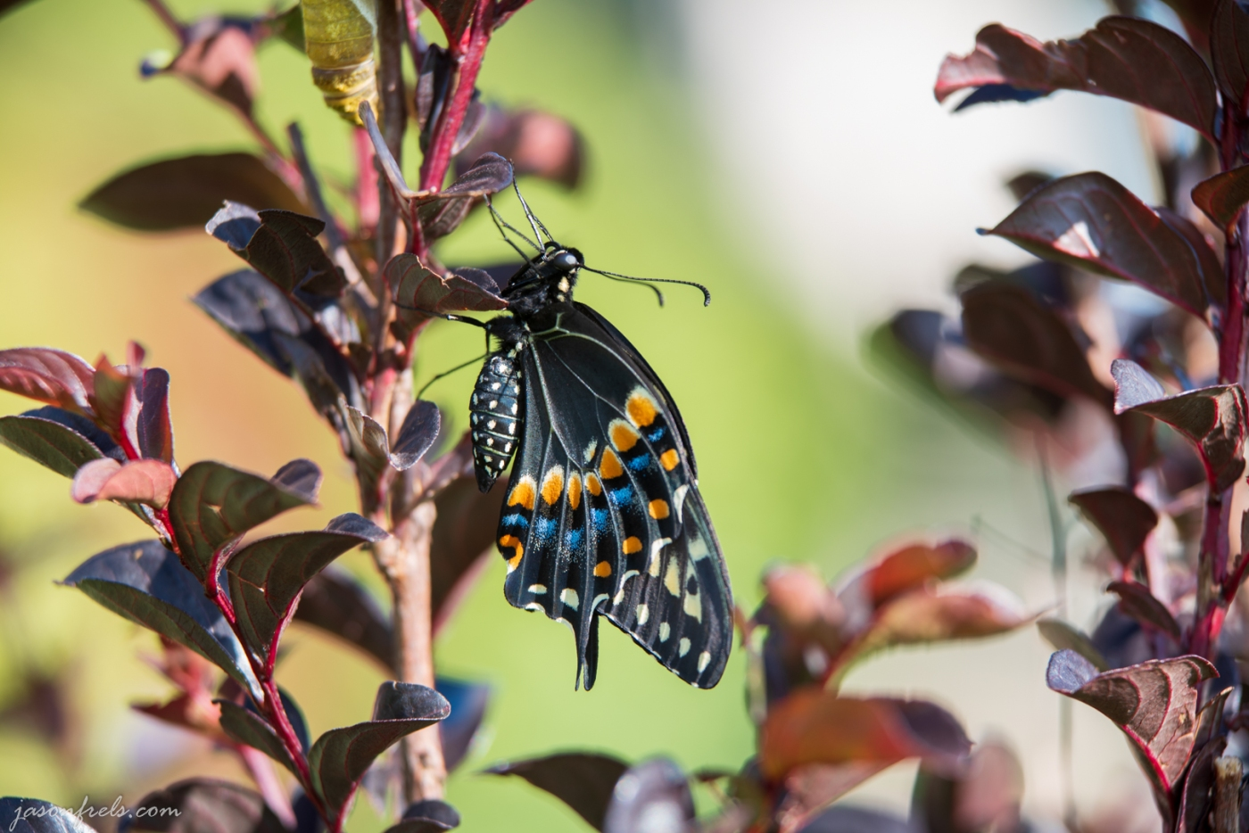 Close up of Butterfly in Crepe Myrtle