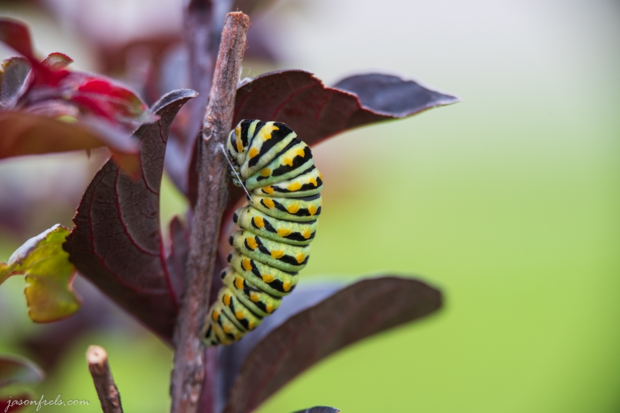 Caterpillar on a Crepe Myrtle forming a Cocoon