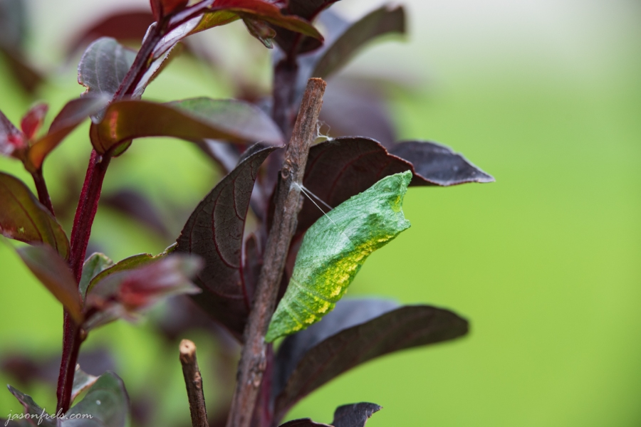 Butterfly Cocoon Hanging on a Crepe Myrtle