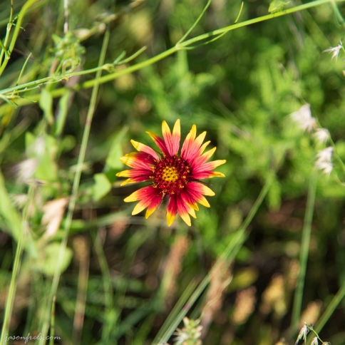 Red and Yellow Wildflower