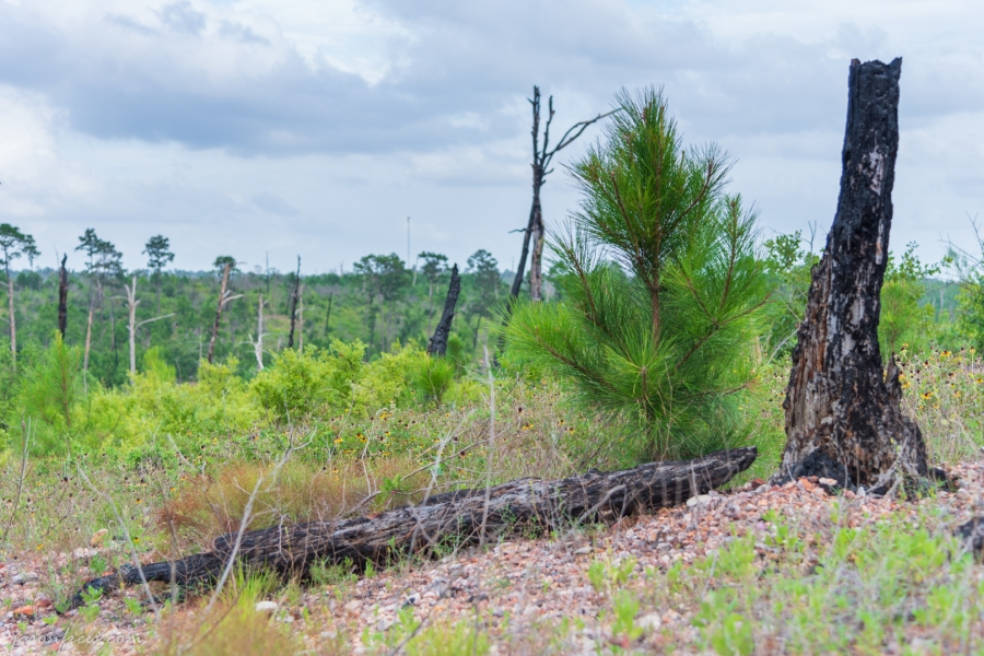Burned Tree and New Sapling at Bastrop State Park