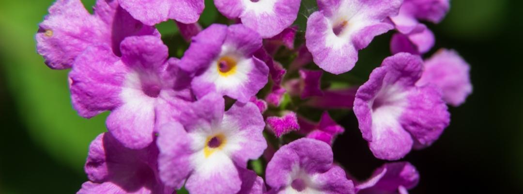 Pink Trailing Lantana Flower Close Up
