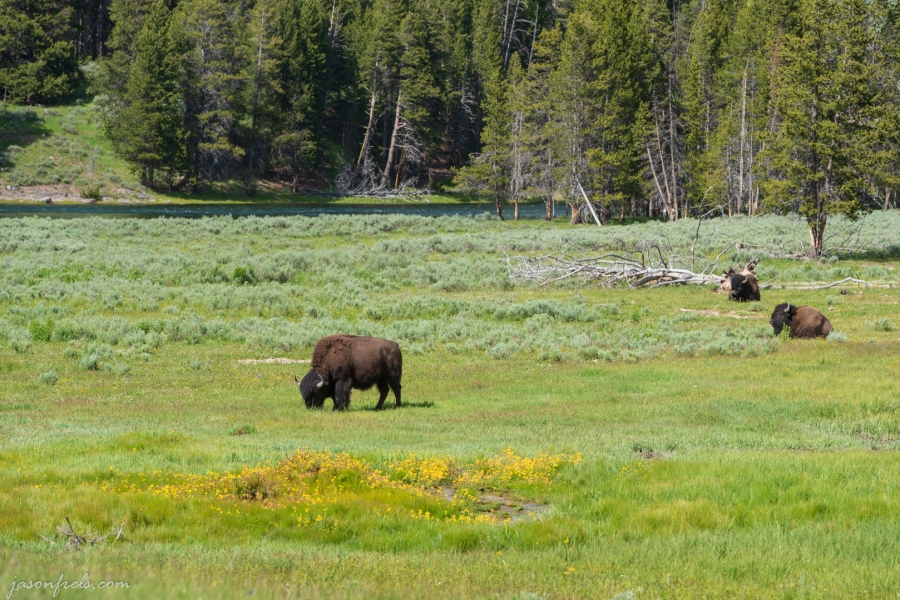 Bison in wildflowers. Yellowstone National Park