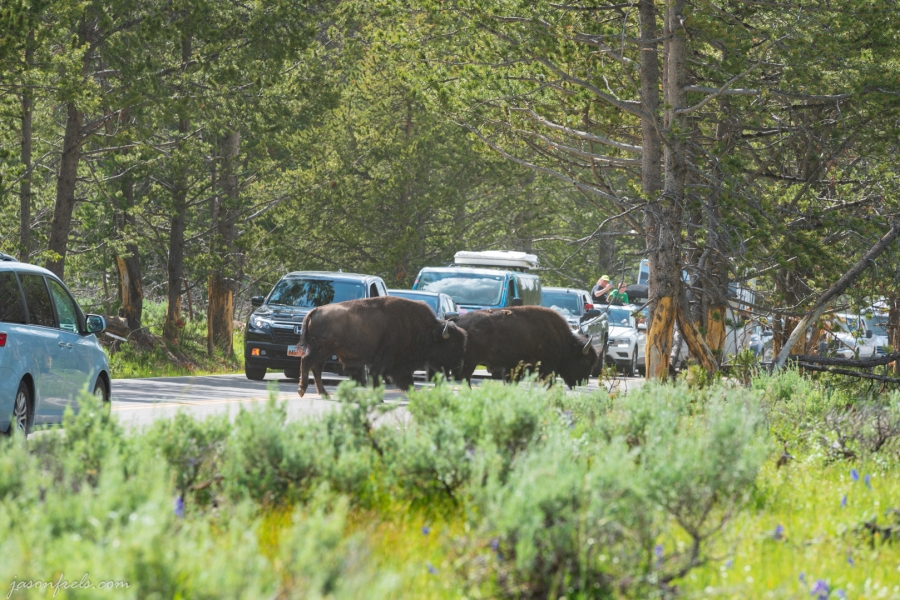 Bison Blocking Road in Yellowstone National Park