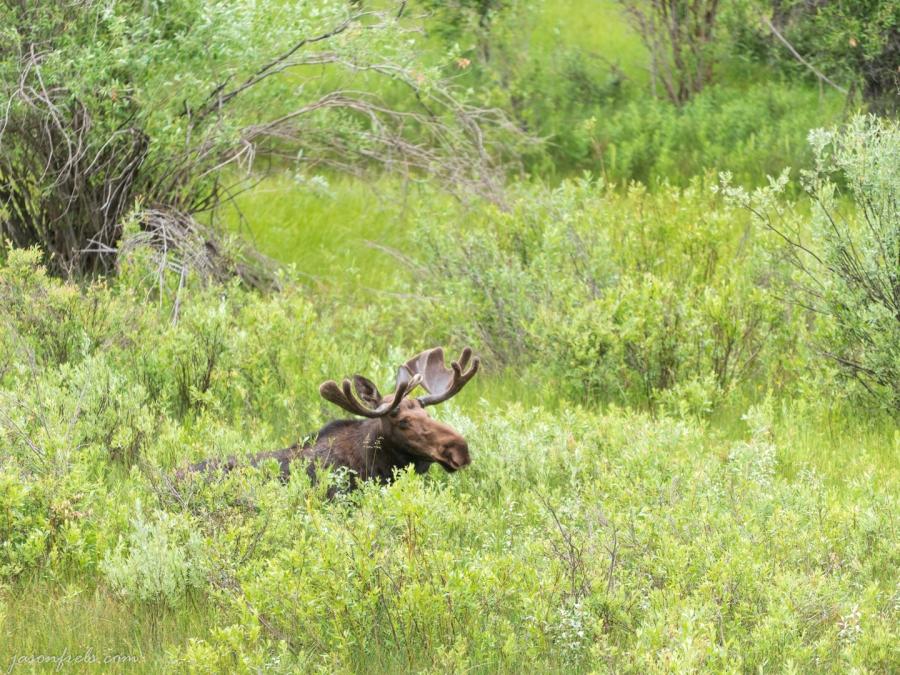Moose-Grand-Tetons