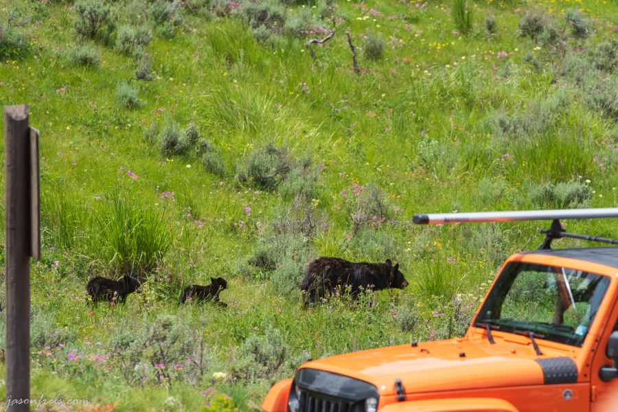 Black Bear and Cubs in Yellowstone