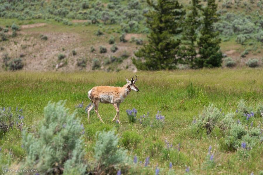 Yellowstone Pronghorn
