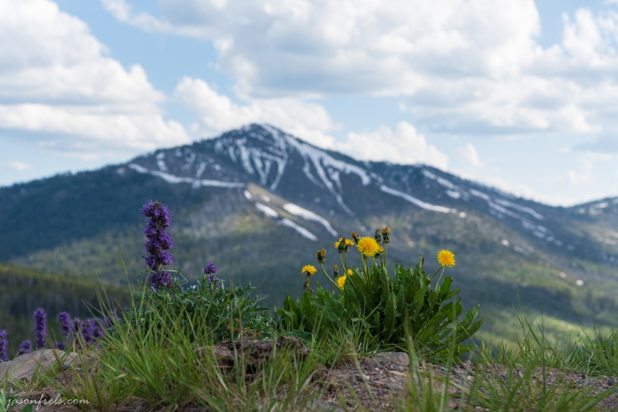Wildflowers in the Mountains - Yellowstone National Park