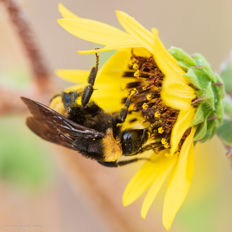 Close up of Bee on a Yellow Flower