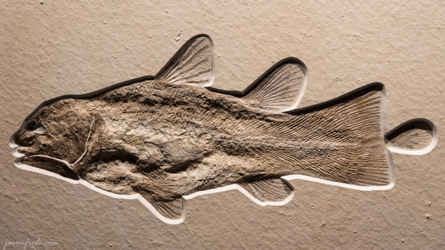 Fish Fossil - Houston Museum of Natural Science