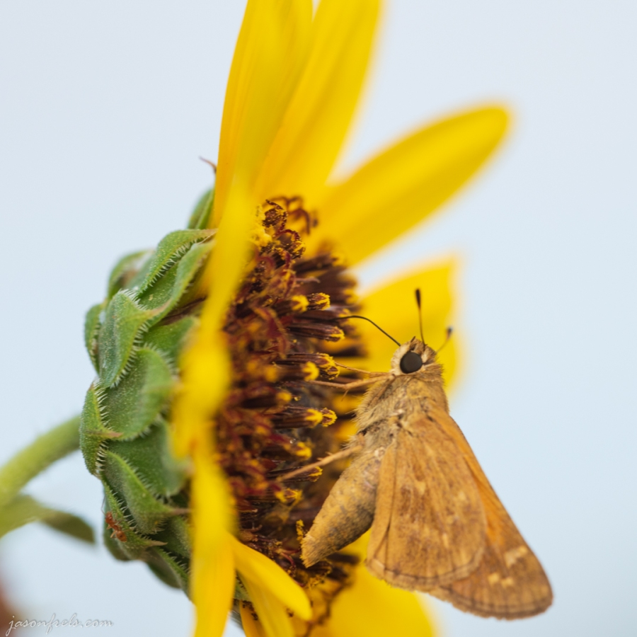 Close-up of a Moth on a Yellow Flower