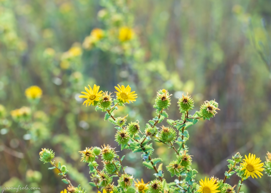 Yellow Wildflowers at Balcones Canyonlands Shot with Irix Dragonfly 150mm Macro Lens