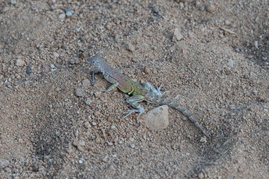 Lizard in Big Bend National Park
